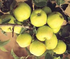 Lodi Apple 4 Ft  will make fruit this spring! WOW! Click Picture for More pricing and Size Options