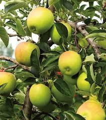 Dorsett Golden 4 Ft will make fruit this spring! WOW! Click Picture for More pricing and Size Options