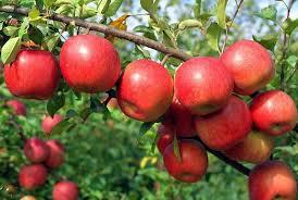 Fuji  Apple 4 Ft  will make fruit this spring! WOW! Click Picture for More pricing and Size Options