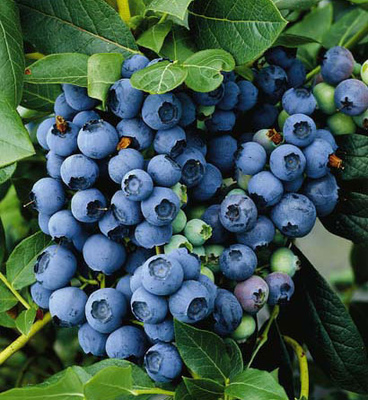 Blue Berry Special buy 5 get 1 free