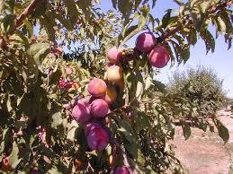 Ozark Premier Plum 4 Ft  will make fruit this spring! WOW! Click Picture for More pricing and Size Options