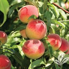Red Globe Peach 4 Ft will make fruit this spring! WOW! Click Picture for More pricing and Size Options