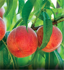 Golden n Jubilee Peach 4 Ft will make fruit this spring! WOW! Click Picture for More pricing and Size Options
