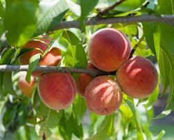 Red Haven Peach 4 Ft will make fruit this spring! WOW! Click Picture for More pricing and Size Options