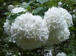 Japanese Snowball 3 Gallon