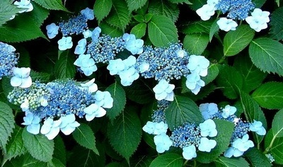 Bi-Cap Hydrangea Click Picture for More pricing and Size Options
