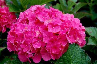 Pink Hydrangea Click Picture for More pricing and Size Options