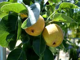 20th Century Pear 4 Ft  will make fruit this spring! WOW! Click Picture for More pricing and Size Options