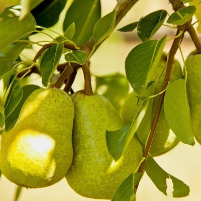 Bartlett Pear 4 Ft will make fruit this spring! WOW! Click Picture for More pricing and Size Options