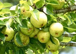 Orient Pear 4 Ft  will make fruit this spring! WOW! Click Picture for More pricing and Size Options