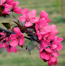 Red Crab Apple tree 4 Ft  will make blooms this spring! WOW!