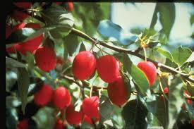 Dolgo Crab-Apple 4 Ft will make Fruit this spring! WOW! Click Picture for More pricing and Size Options