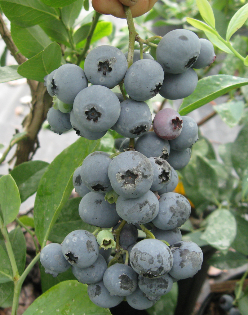 Alpha Blueberry will make fruit this spring! WOW Click Picture for More pricing and Size Options