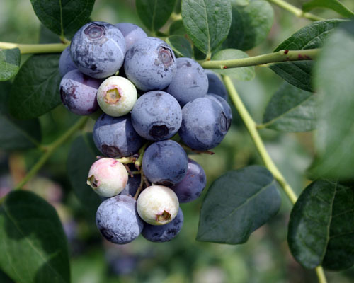 Alapaha Blueberry will make fruit this spring! WOW Click Picture for More pricing and Size Options