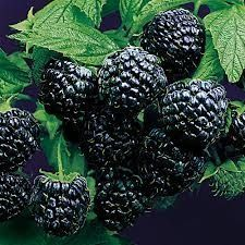 Arkansas Prime Blackberry will make fruit this spring! WOW Click Picture for More pricing and Size Options