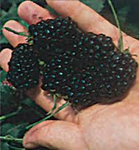 Natchez Blackberry will make fruit this spring! WOW Click Picture for More pricing and Size Options