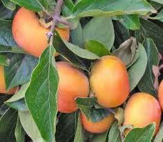 Fuyu Japanese Persimmon Click Picture for More pricing and Size Options