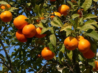 Navel Orange 3 Ft Click Picture for More pricing and Size Options