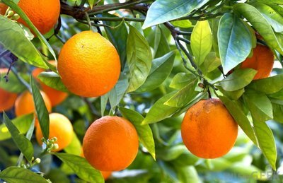 Red Navel Orange 3 Ft Click Picture for More pricing and Size Options