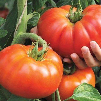 Beef Master Tomato