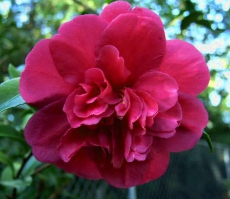 Bonanza Camellia