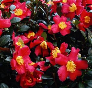 yuletide  Camellia