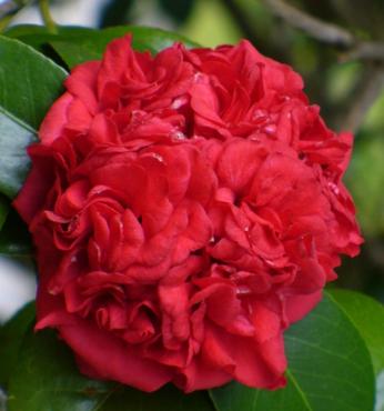 Professor Charles S. Seargent Camellia
