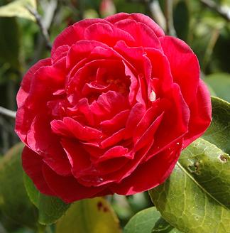 Mathotiana Camellia