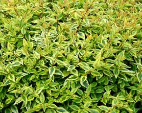 Abelia kaleidoscope