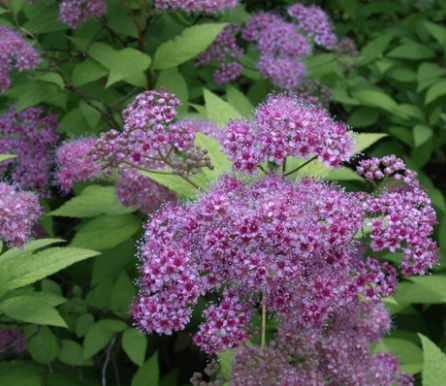 Purple Spirea 3 gallon