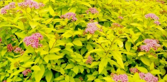Gold Mound Spirea 1gallon