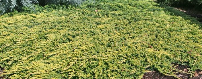 Golden carpet Juniper 1 galon