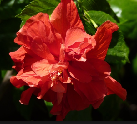 Hibiscus President Red 3 galon