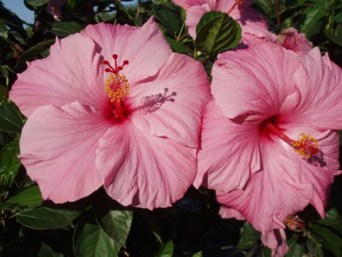 Hibiscus Seminole Pink 3 galon