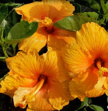 Hibiscus Joan 3 galon