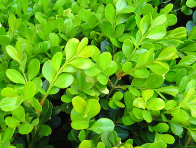 Japanese Boxwood  1 galon