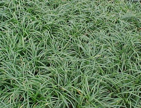 Mondo Dwarf Liriope Grass
