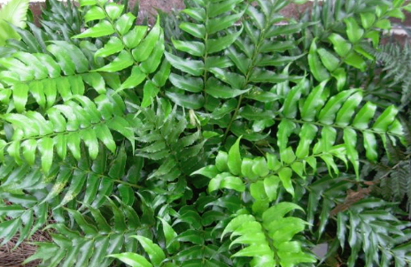Holly Fern 1 Gallon