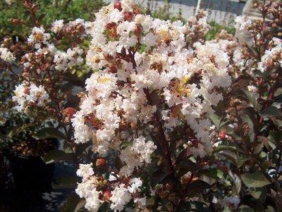 Burgundy Cotton white Crape Myrtle