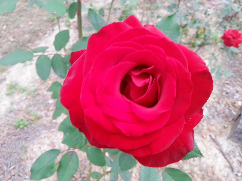Oklahoma Rose 3 gallon