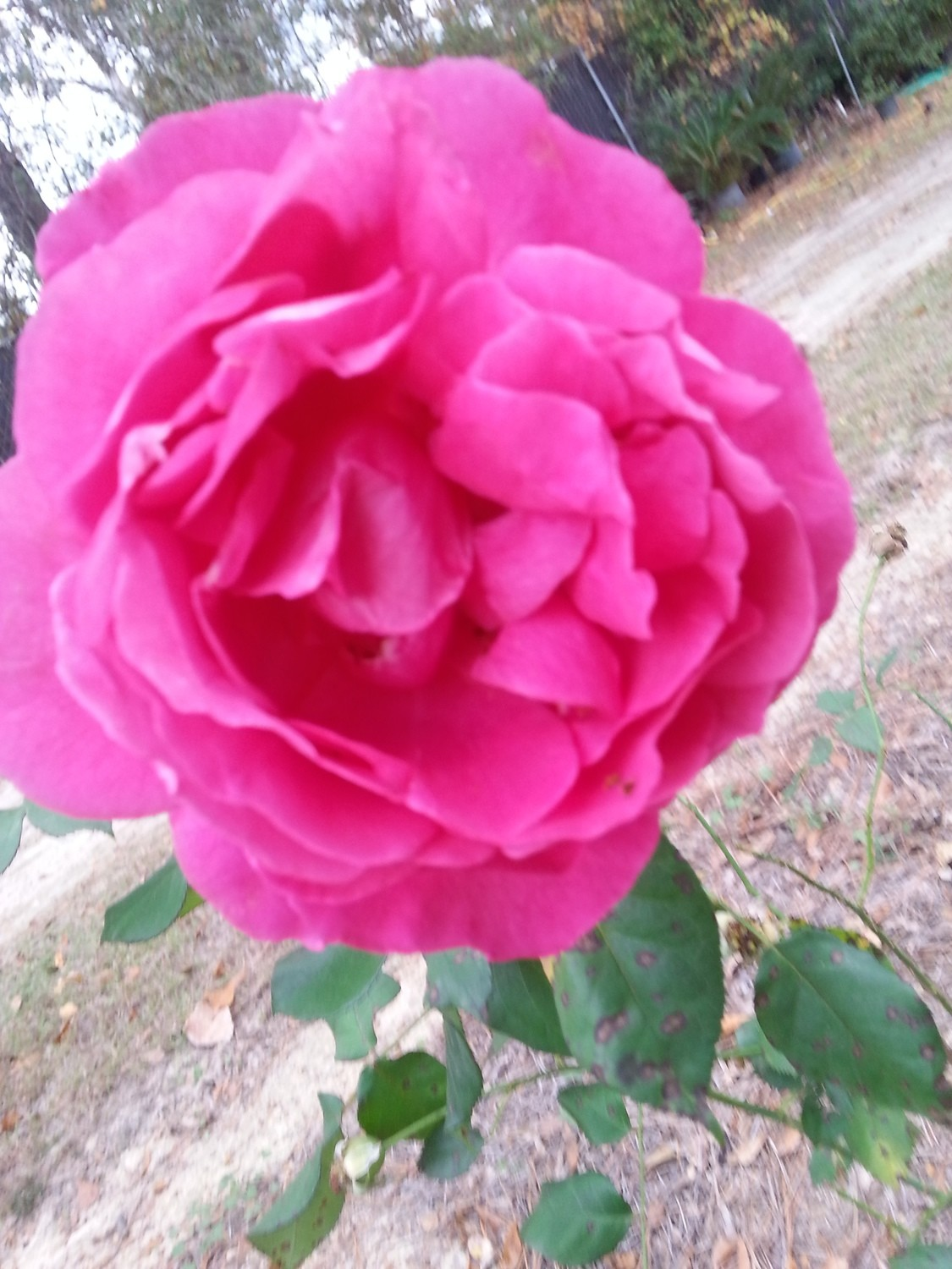 Grande Dame Rose 3 gallon