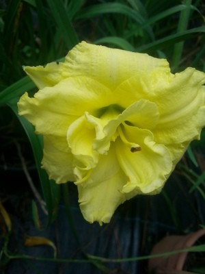 Yellow Double ruffle