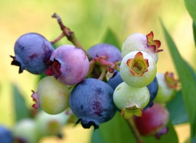 Star Blueberry will make fruit this spring! WOW Click Picture for More pricing and Size Options