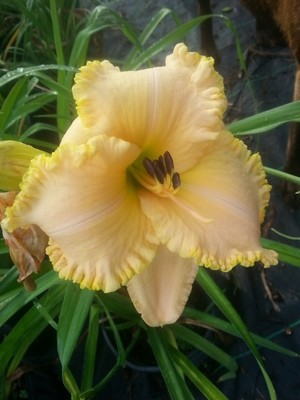 Yellow Cream Ruffle 1 gallon