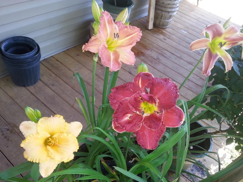 5 Mixed Hybrid Daylillies