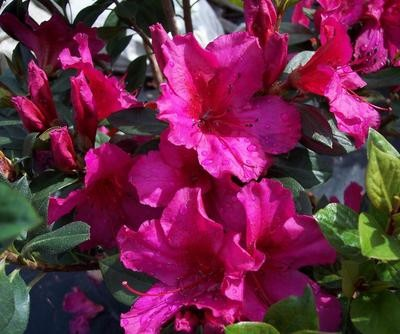 Formosa Red Azalea Click Picture for More pricing and Size Options