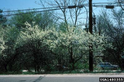 Native Plum Seedlings