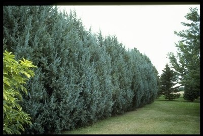 Rocky Mountain Juniper Large