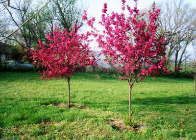 Prairie Fire Crabapple Large