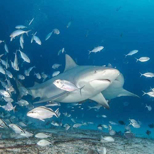 """Погружения с бычьими акулами """"BULL SHARK DISCOVERY"""""""